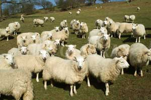 Counselling for sleep problems, sleep disorders, insomnia, psychotherapy central London, Camden, Kings Cross - flock of sheep